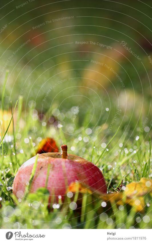Fallobst III Lebensmittel Apfel Bioprodukte Umwelt Natur Pflanze Wassertropfen Herbst Schönes Wetter Gras Blatt Garten glänzend liegen ästhetisch authentisch