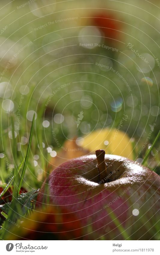 Fallobst... Apfel Bioprodukte Vegetarische Ernährung Umwelt Natur Pflanze Wassertropfen Herbst Schönes Wetter Gras Blatt Garten glänzend leuchten liegen