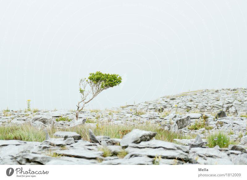 Schräger Typ Umwelt Natur Landschaft Pflanze Erde Baum Sträucher Hügel Burren Karstlandschaft Republik Irland Stein Wachstum natürlich grau steinig Steinplatten