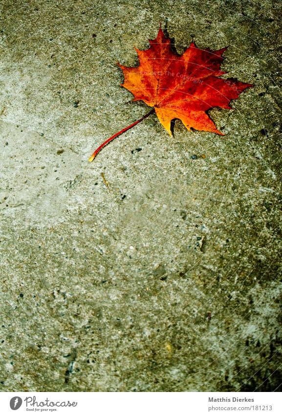 Ahorn schön Einsamkeit Blatt gelb Herbst trist gold einzeln Beton einzigartig Bodenbelag Boden Verfall Stengel Ende Herbstlaub