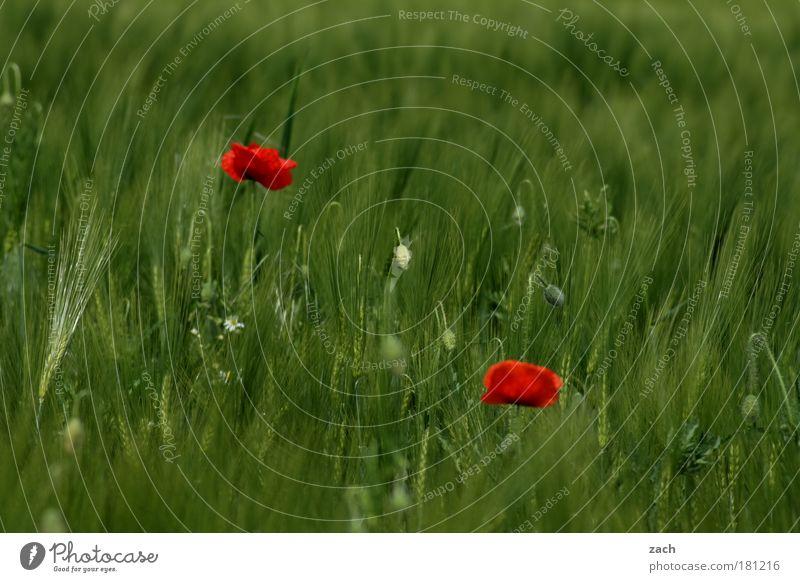 Mohn Amour Natur schön Blume grün Pflanze rot Sommer Wiese Blüte Gras Paar 2 Feld Umwelt ästhetisch Wachstum