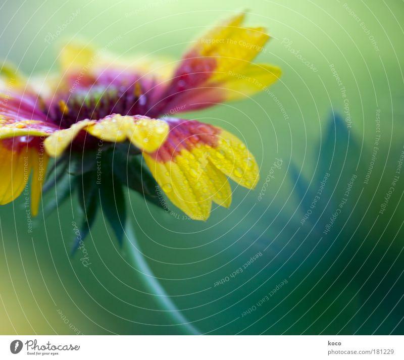 eine blume für john Natur schön Blume grün Pflanze rot Sommer Blatt gelb Herbst Blüte Wassertropfen