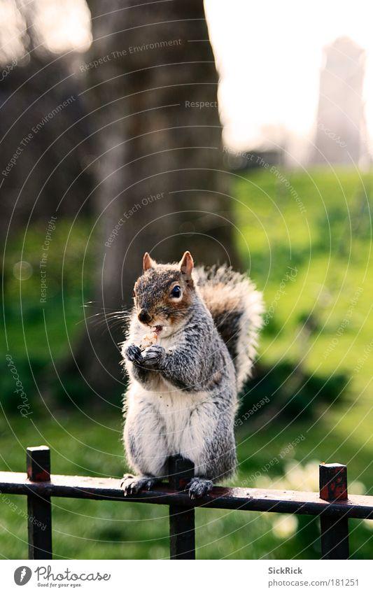 sweet Natur Stadt Tier Umwelt Park Tourismus Ernährung sitzen süß niedlich frech Nuss Eichhörnchen Klischee England Großbritannien