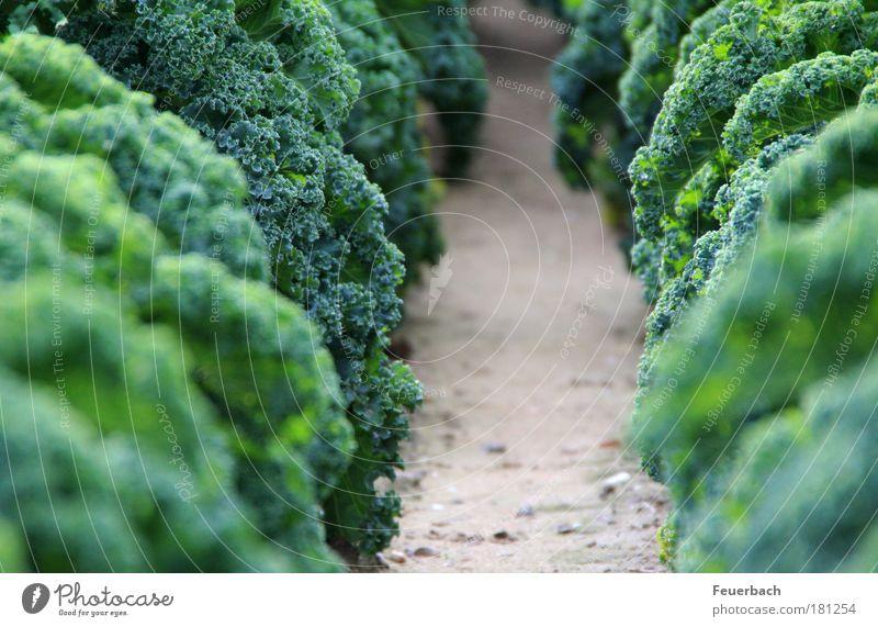 Dschungelweg? grün Pflanze Winter Herbst Garten Gesundheit Feld Lebensmittel Erde Ernährung Landwirtschaft Gemüse Urwald Bioprodukte nachhaltig Mahlzeit