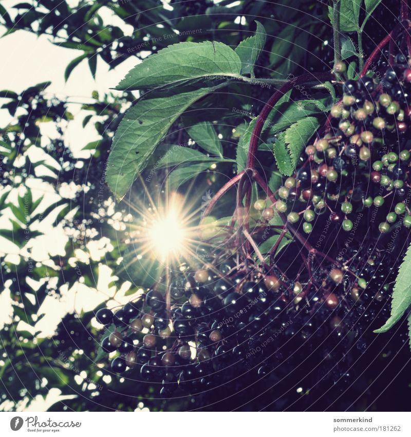 Holundersommer Lebensmittel Frucht Holler Holunderbusch Holunderbeeren Sommer Sonne Umwelt Natur Pflanze Herbst Schönes Wetter Baum Blatt Park hell lecker blau