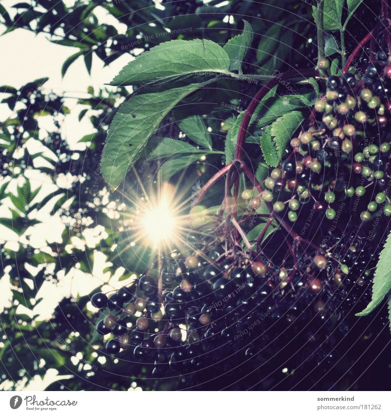 Holundersommer Natur blau Pflanze grün Sommer Sonne Baum rot Blatt schwarz Umwelt Herbst hell Lebensmittel Park Frucht
