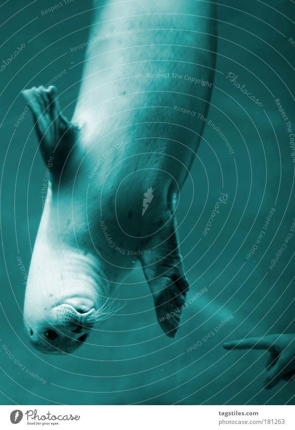 HAGE, MENSCHN... a.k.a. GUCK MAL WAS ICH KANN... Ferien & Urlaub & Reisen blau Wasser Meer Tierjunges Spielen Schwimmen & Baden Kommunizieren niedlich Neugier tauchen zeigen entdecken Blick winken Begrüßung