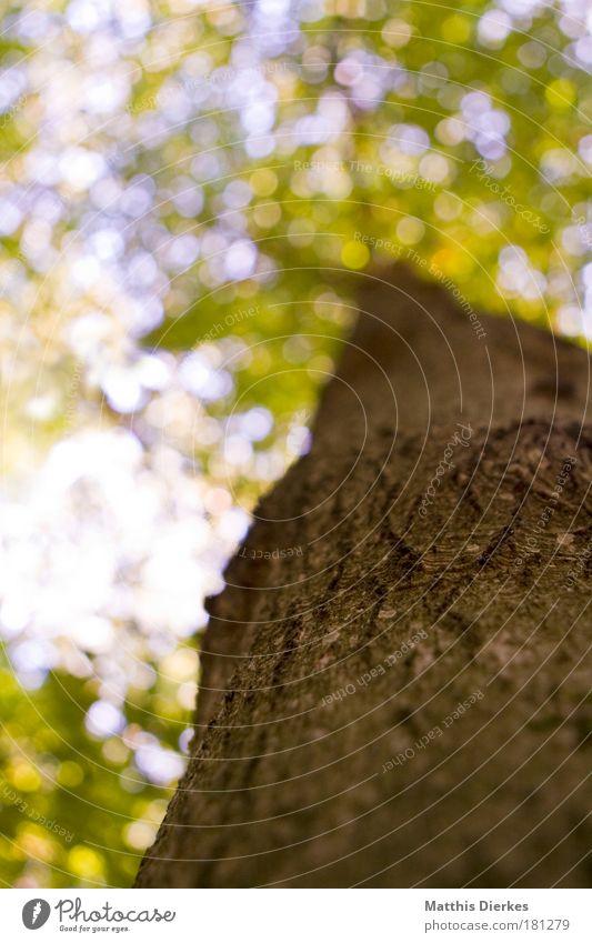 Hoch hinaus Natur Baum Pflanze Blatt Wald Umwelt groß Schutz Urwald Koloss gigantisch