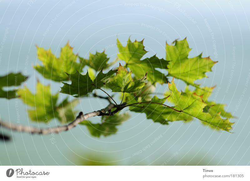 Zwischensaison Natur blau Pflanze grün Sommer Baum Blatt Umwelt Park Ast Schönes Wetter Zweig Ahorn Grünpflanze