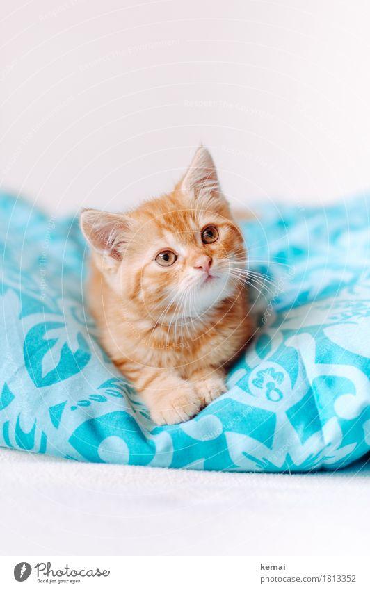Gizmo (II) Häusliches Leben Wohnung Schlafzimmer Bettdecke Bettwäsche Tier Haustier Katze Tiergesicht Fell Pfote 1 Tierjunges liegen Blick Freundlichkeit schön