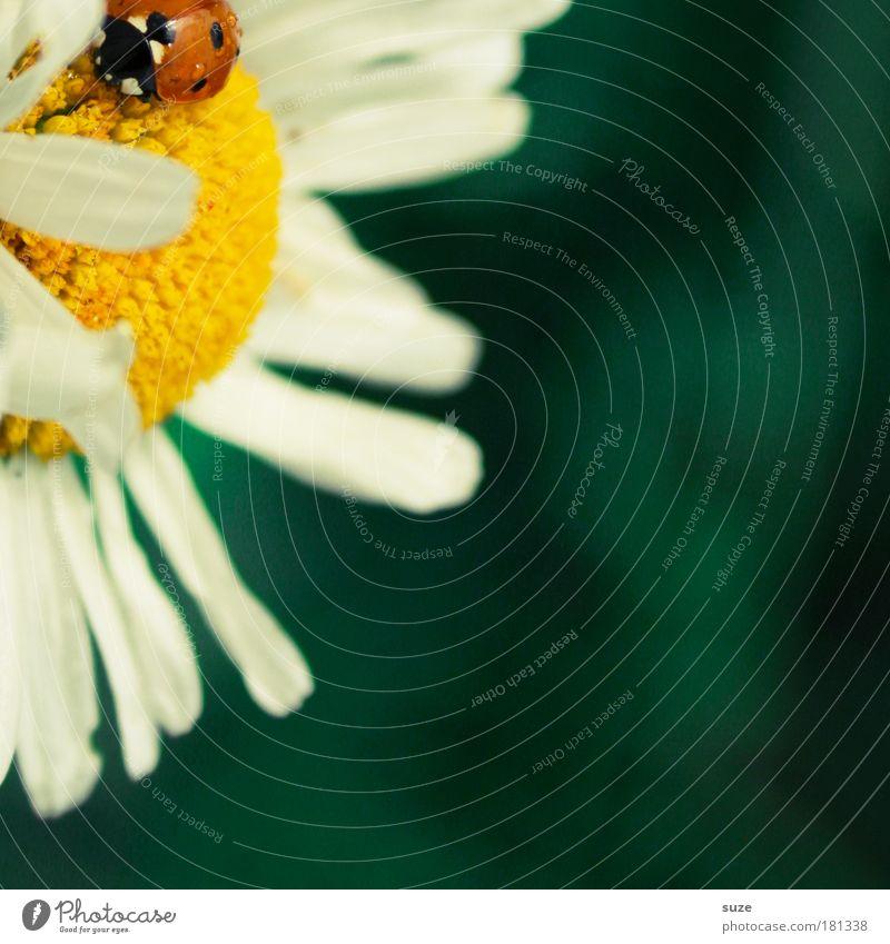 Modschegiebchen Glück Sommer Umwelt Natur Pflanze Blüte Tier Wildtier Käfer 1 schön klein natürlich niedlich grün rot Marienkäfer Margerite Symbole & Metaphern