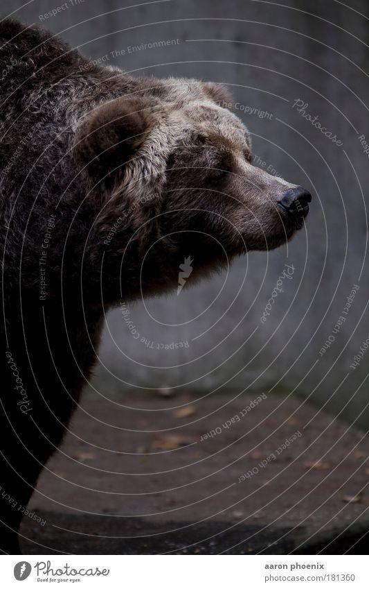 schnuppern Tier kalt Berge u. Gebirge grau braun Felsen Wildtier bedrohlich Neugier Fell Freundlichkeit Tiergesicht Zoo muskulös