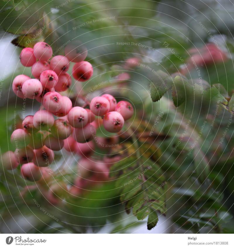 rosa Strauch-Eberesche Natur Pflanze grün Blatt Umwelt Herbst natürlich klein Garten außergewöhnlich grau Frucht Wachstum Sträucher einzigartig