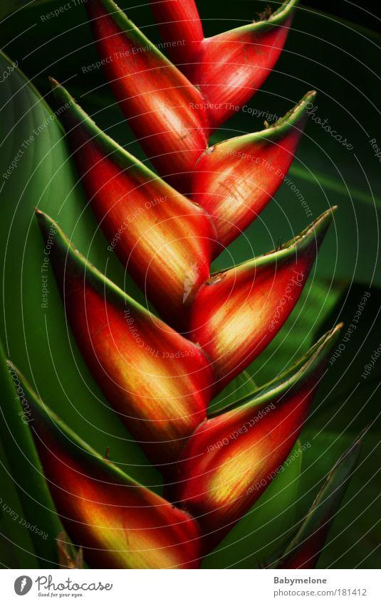 Feuerzacken Natur schön Pflanze rot gelb Umwelt leuchten exotisch Malaysia