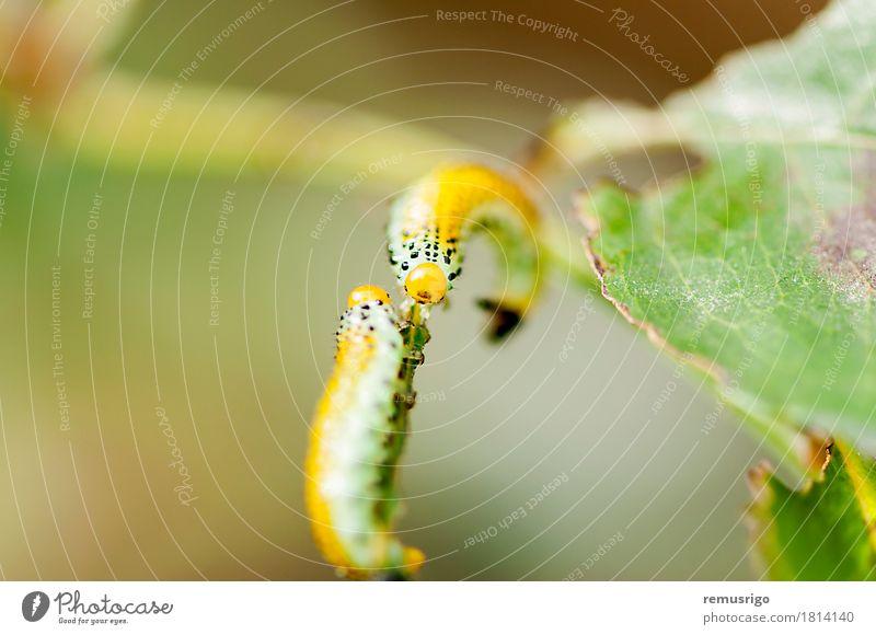 Raupe Kreuzung Sommer Natur Tier Schmetterling 2 Zusammensein gelb Wanze Lebewesen Insekt Larve Metamorphose Farbfoto Makroaufnahme Menschenleer Tag