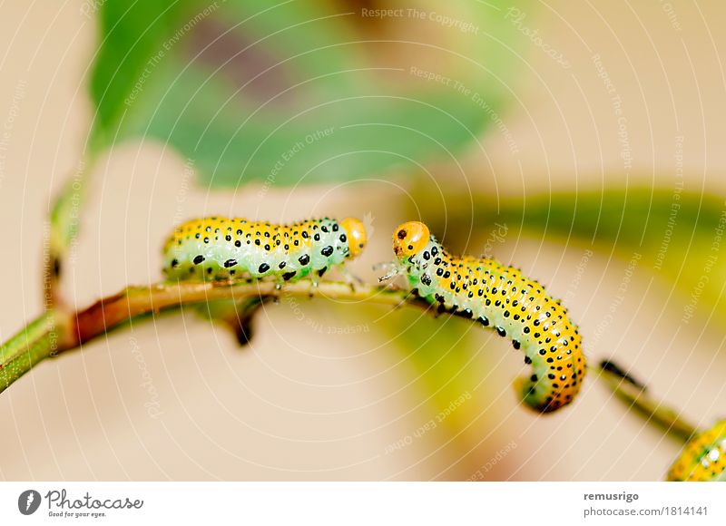 Raupe Kreuzung Sommer Natur Tier Schmetterling gelb Zufriedenheit Wanze Lebewesen Insekt Larve Metamorphose Farbfoto Makroaufnahme Menschenleer Tag Licht