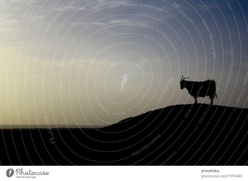 Schwarzes Schaf Außenaufnahme Abend Silhouette Tierporträt Wildtier 1 Gelassenheit Zufriedenheit einzigartig Inspiration Schatten Hügel schwarz blau