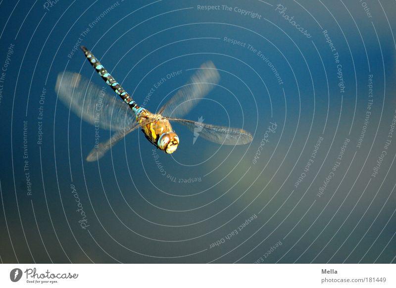 X-Wing Umwelt Natur Tier Teich See Flügel Libelle 1 Bewegung fliegen frei glänzend schön natürlich blau Stimmung Lebensfreude Freiheit Idylle Leichtigkeit
