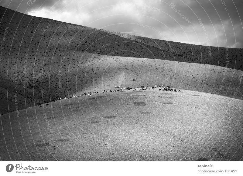 Ziegenherde Schwarzweißfoto Außenaufnahme Menschenleer Textfreiraum unten Tag Licht Schatten Kontrast Totale Ausflug Ferne Berge u. Gebirge wandern