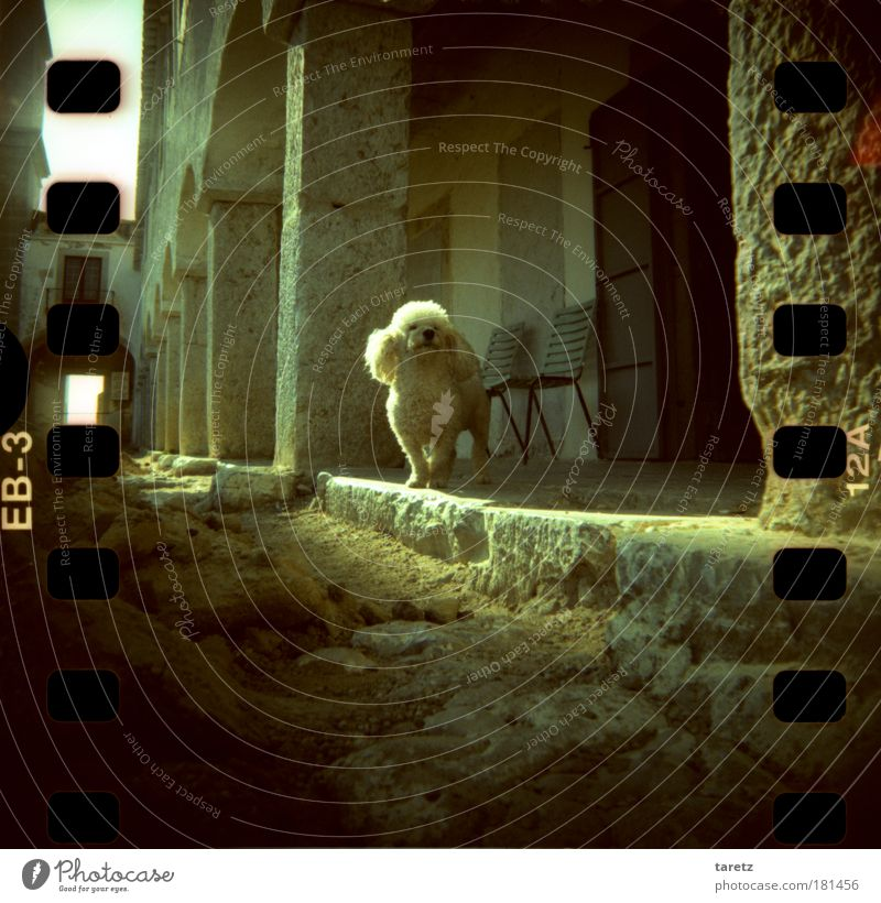 Kerberos Portugal Haustier Hund Pudel 1 Tier alt klein Neugier niedlich weiß Sand Stein Gemäuer Säule Arkaden Tor Stuhl Filmperforation Farbfoto Außenaufnahme