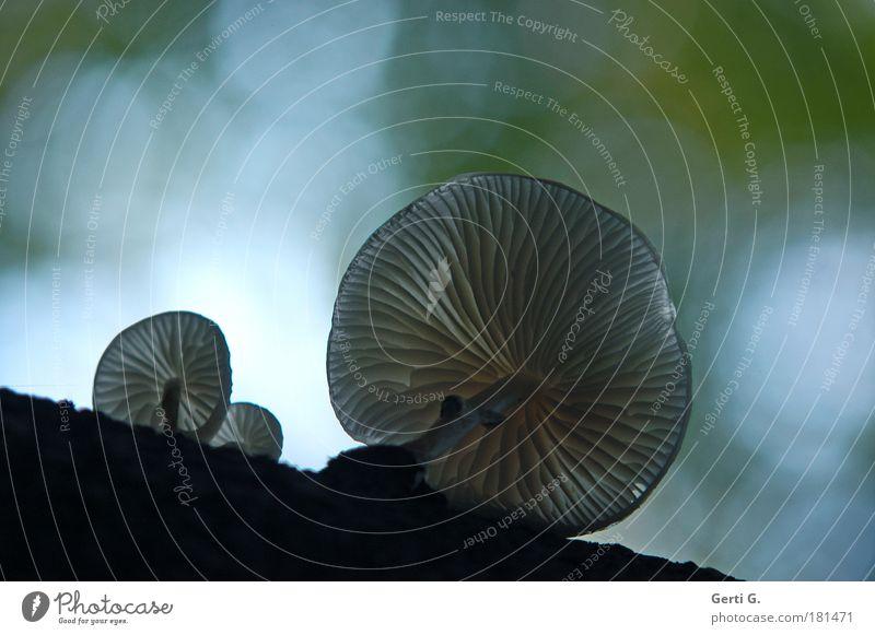 Schirmherren Herbst Perspektive Stengel Pilz Baumstamm Lichtpunkt Lamelle Pilzhut Reflexion & Spiegelung herbstlich Lichtkreis Lichtstimmung Giftpflanze