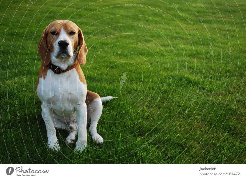Die harmlose Fassade. Farbfoto Außenaufnahme Dämmerung Licht Schatten Blick in die Kamera Haustier Hund atmen beobachten warten braun grün weiß Stolz Tag
