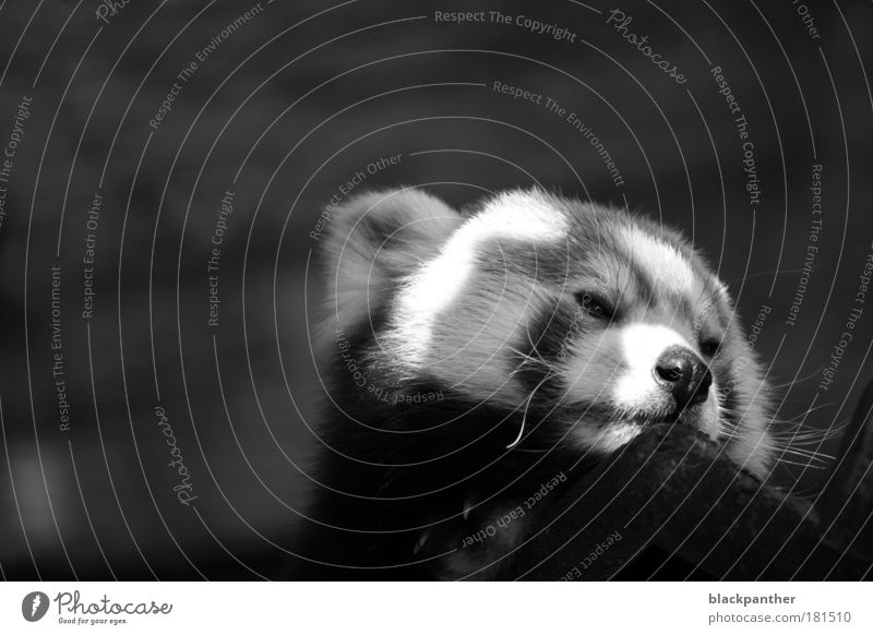 Auf der Suche nach Freiheit Schwarzweißfoto Außenaufnahme Textfreiraum links Textfreiraum oben Hintergrund neutral Kontrast Tierporträt Wegsehen Wildtier Bär 1