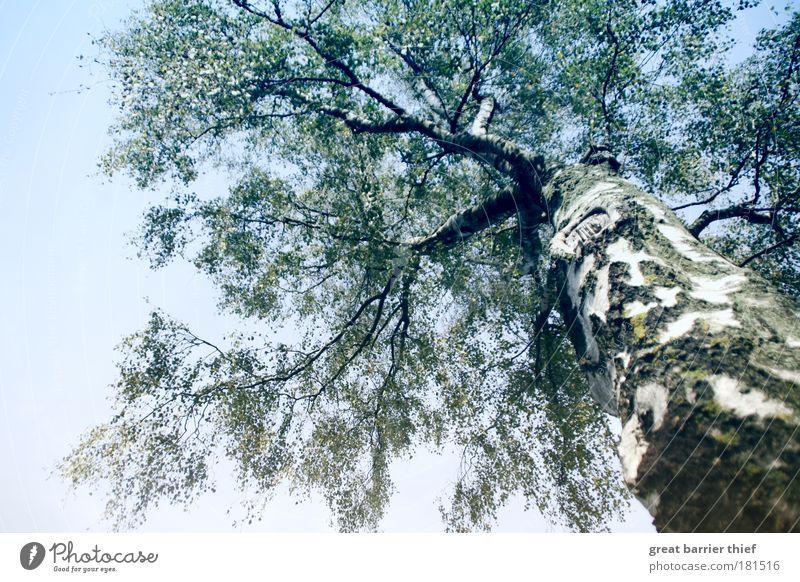 Birkenmeer Natur Himmel Baum blau Einsamkeit Herbst Holz Zufriedenheit elegant groß Hoffnung nah Sauberkeit fest Sehnsucht berühren