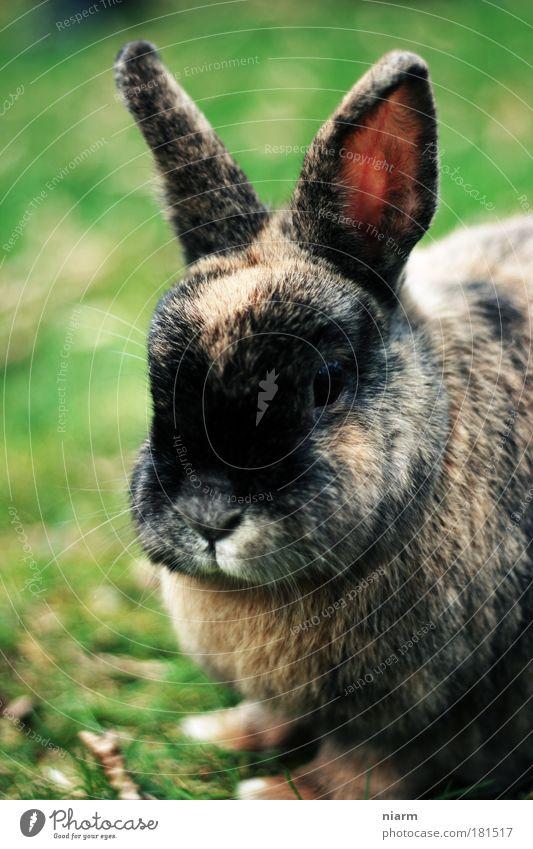 Ostern kommt bestimmt Natur schön grün Tier klein braun Zufriedenheit Freundlichkeit lecker gut Haustier Leichtigkeit dick Hase & Kaninchen kuschlig saftig