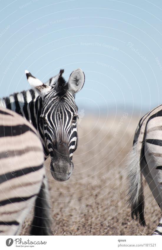 3 Zebras Natur Tier Freiheit Beine Abenteuer Wildtier Streifen Tiergesicht Hinterteil Schutz Afrika Fell Wachsamkeit Fernweh Schwanz Dürre