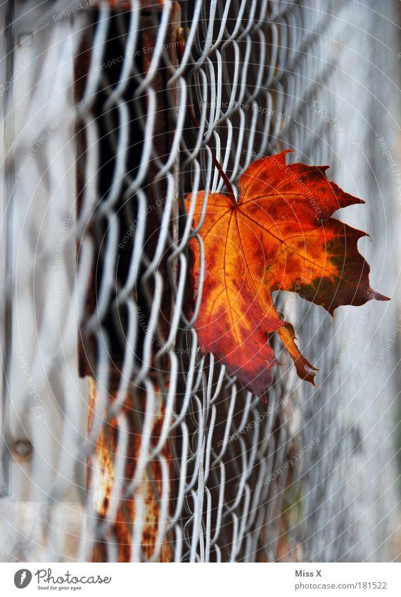 Herbstblatt Natur Baum Blatt kalt Garten Traurigkeit Park Vergänglichkeit fallen trocken Zaun Verfall hängen Herbstlaub vertrocknet
