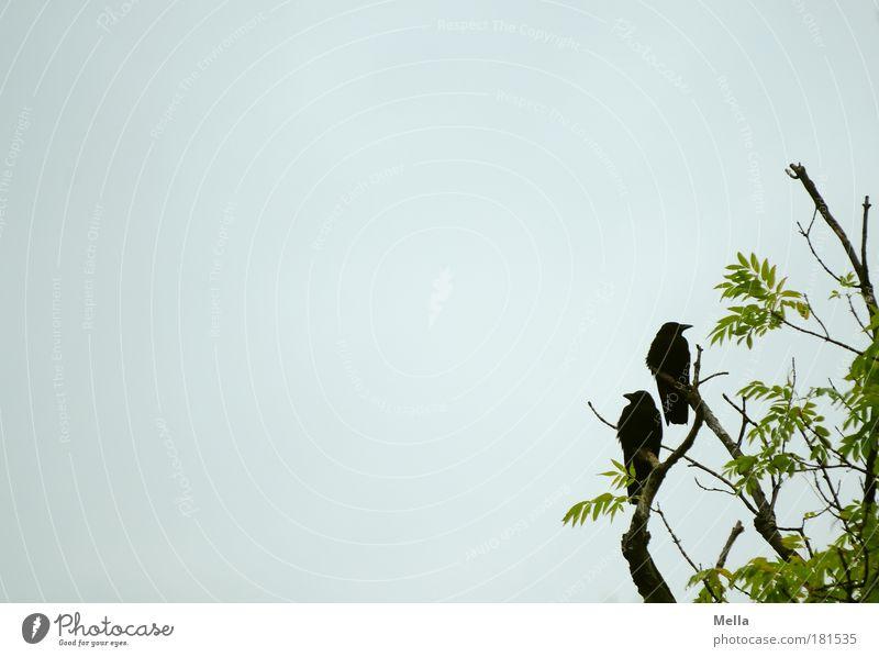 Szenen einer Ehe Umwelt Natur Pflanze Tier Himmel Baum Wildtier Vogel Krähe 2 hocken sitzen grau Stimmung Einigkeit loyal Sympathie Freundschaft Misstrauen Neid