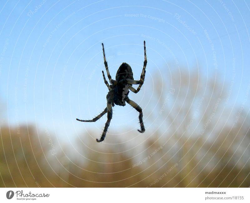 Spiderman Spinne