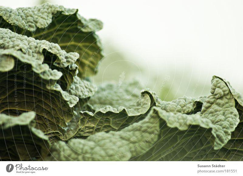 grünes Ungeheuer Farbfoto Lebensmittel Gemüse Ernährung Bioprodukte Vegetarische Ernährung Wachstum Wirsing Kohl Kräusel Gesunde Ernährung Landwirtschaft