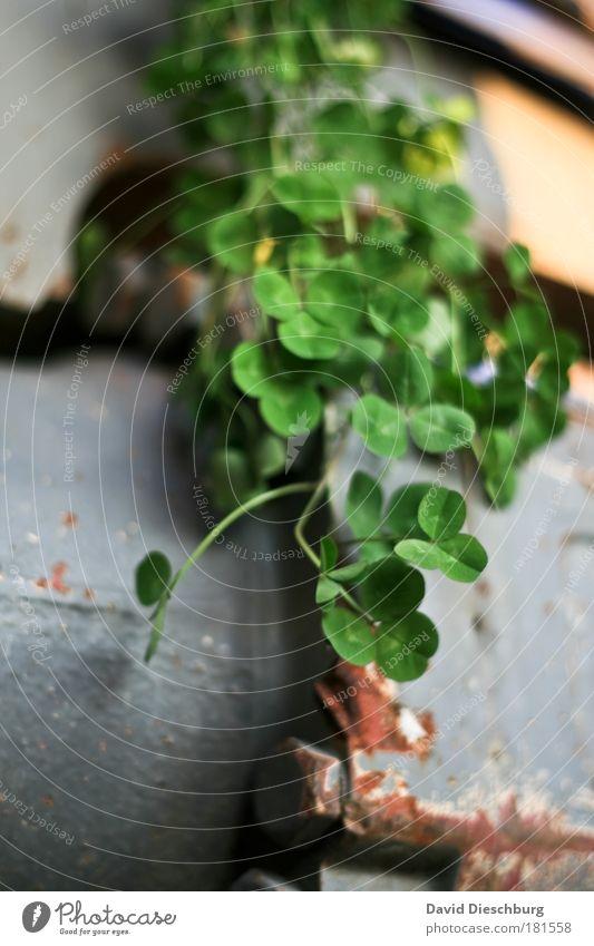 Metal vs. nature Natur grün schön Sommer Pflanze Blatt schwarz Umwelt Frühling Glück Wachstum Grünpflanze Kleeblatt Klee Wildpflanze Glücksbringer