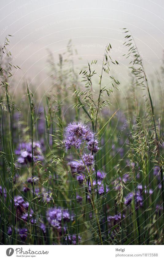 Herbst-Blumenwiese... Umwelt Natur Pflanze Nebel Blüte Grünpflanze Nutzpflanze Bienenweide Feld Blühend stehen Wachstum ästhetisch außergewöhnlich schön