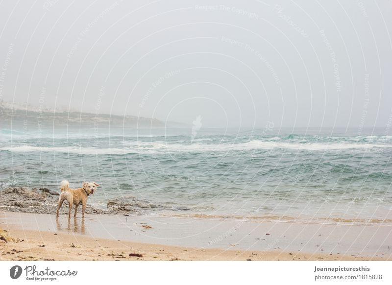 Hund am Strand Ferien & Urlaub & Reisen Ausflug Abenteuer Freiheit Meer Wellen Landschaft Wasser Herbst Winter schlechtes Wetter Sturm Nebel Regen Atlantik Tier