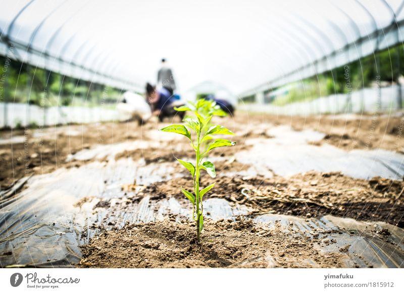Chili unter einem Gewächshaus Gemüse Kräuter & Gewürze Pflanze Erde Frühling Blatt Nutzpflanze Topfpflanze braun grün weiß Tatkraft Chiliernte Ackerbau Farbfoto