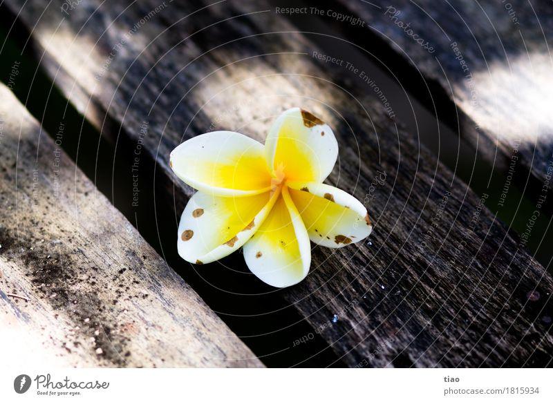 Blüte im Schatten Umwelt Pflanze Sommer exotisch Holz berühren Blühend Duft entdecken Erholung genießen leuchten Ferien & Urlaub & Reisen verblüht dehydrieren