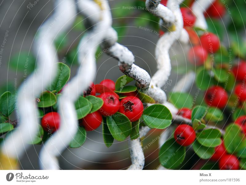 Beerig Natur Pflanze rot Sommer Blatt Herbst Garten Park klein rund Sträucher Zaun Beeren Gift Gitter
