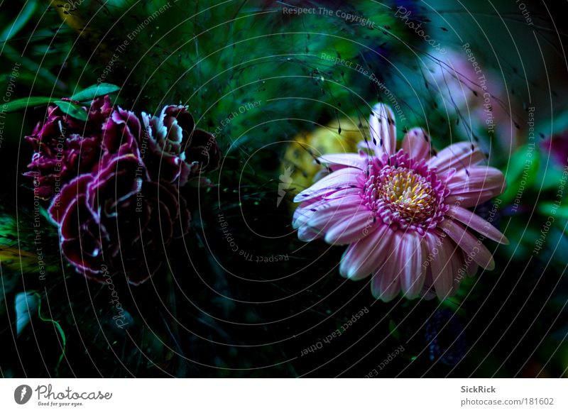 . Farbfoto Innenaufnahme Pflanze Blume Blüte Blühend schön grün rosa