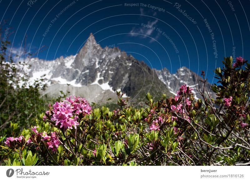 alpine rose Natur Ferien & Urlaub & Reisen Pflanze Sommer Berge u. Gebirge Blüte Hintergrundbild Felsen rosa Luft Schönes Wetter Gipfel Rose Alpen