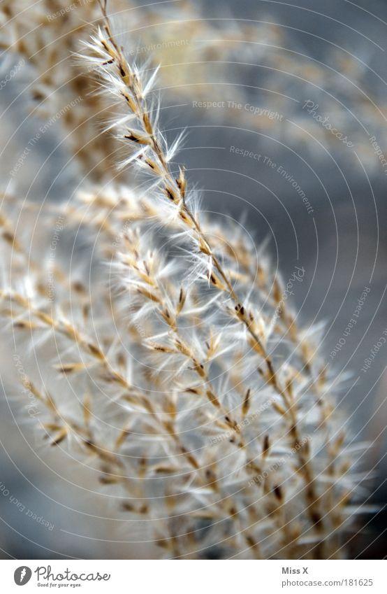 Gras Außenaufnahme Nahaufnahme Detailaufnahme Menschenleer Textfreiraum rechts Schwache Tiefenschärfe Umwelt Natur Pflanze Sträucher Blatt Blüte Park Wiese Feld