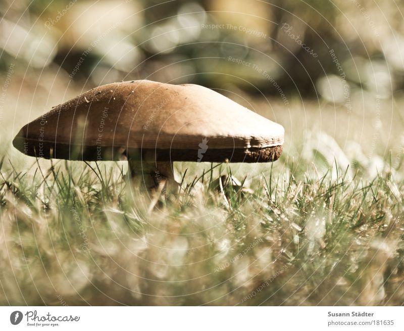 Pilzzeit fängt wieder an Gedeckte Farben Außenaufnahme Detailaufnahme Menschenleer Textfreiraum rechts Licht Schatten Sonnenlicht Gemüse Bioprodukte Landschaft