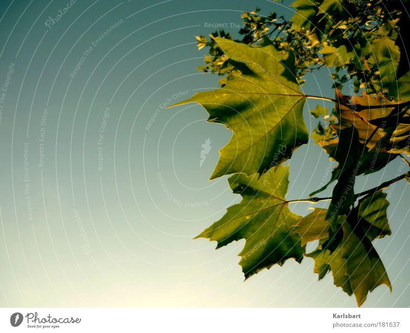 geblatt. Design Leben harmonisch Sinnesorgane Erholung ruhig Duft Erntedankfest Natur Himmel Wolkenloser Himmel Sonnenlicht Herbst Baum Blatt Park hängen blau