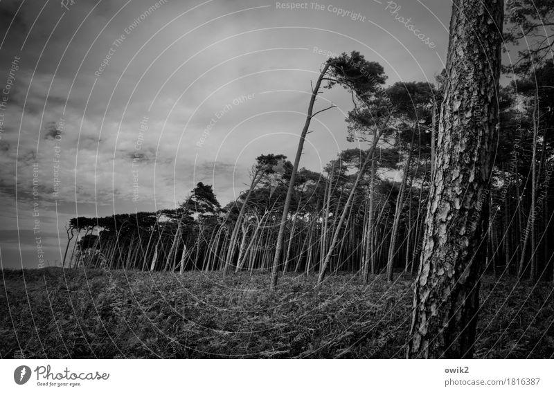 Auf die krumme Tour Umwelt Natur Landschaft Pflanze Wolken Herbst schlechtes Wetter Wind Sturm Baum Wildpflanze Nadelwald Windflüchter Wald Ostsee Weststrand