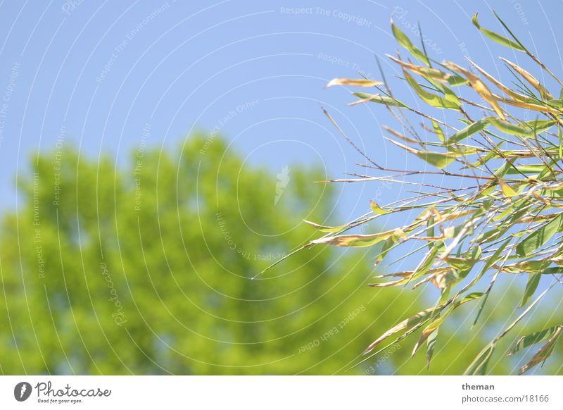 Bambus vor Eiche Baum Blatt Bambusrohr