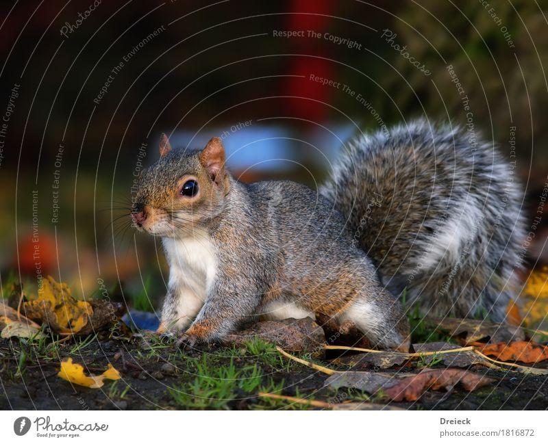 Grauhörnchen Tier Wildtier Tiergesicht Fell Eichhörnchen Nagetiere 1 niedlich braun mehrfarbig grau silber weiß Farbfoto Außenaufnahme Tag