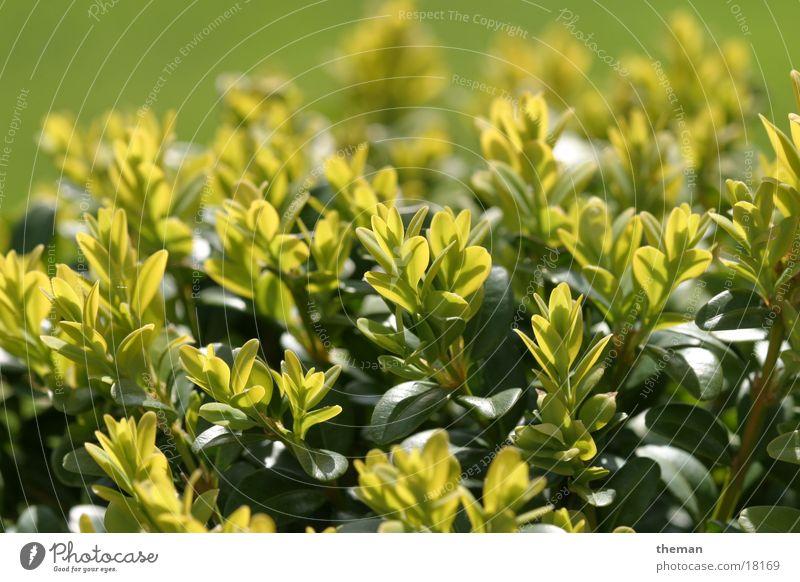 Buchsbaum 2 grün Blatt Garten