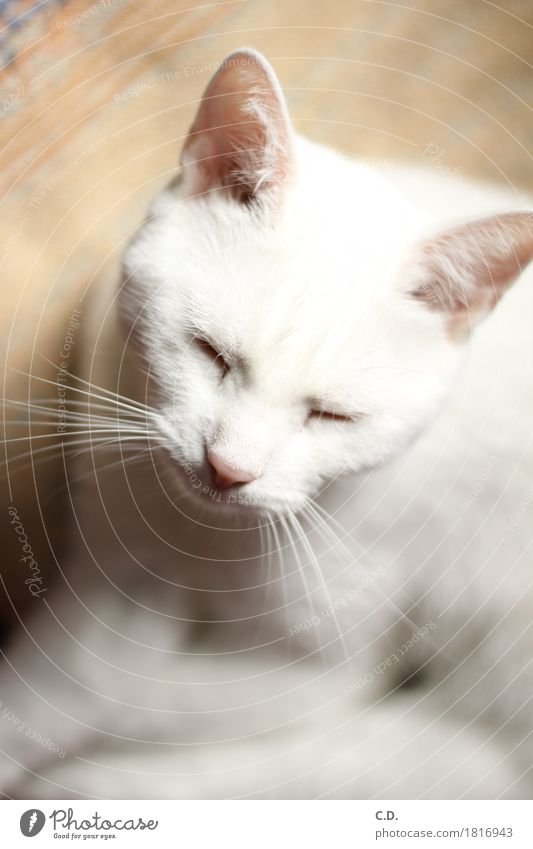 Gino Haustier Katze 1 Tier Erholung weiß ruhig Müdigkeit Schnurren schlafen Farbfoto Tierporträt Schnurrhaar weich Schwache Tiefenschärfe Katzenkopf Katzenohr